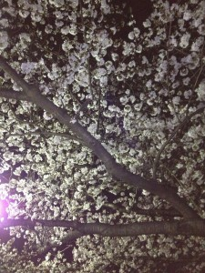 水元公園の夜桜(2013/3/23)